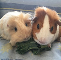 Therapy Animals guinea pigs