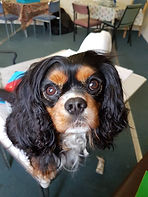 Therapy Dog King Charles Manchester UK