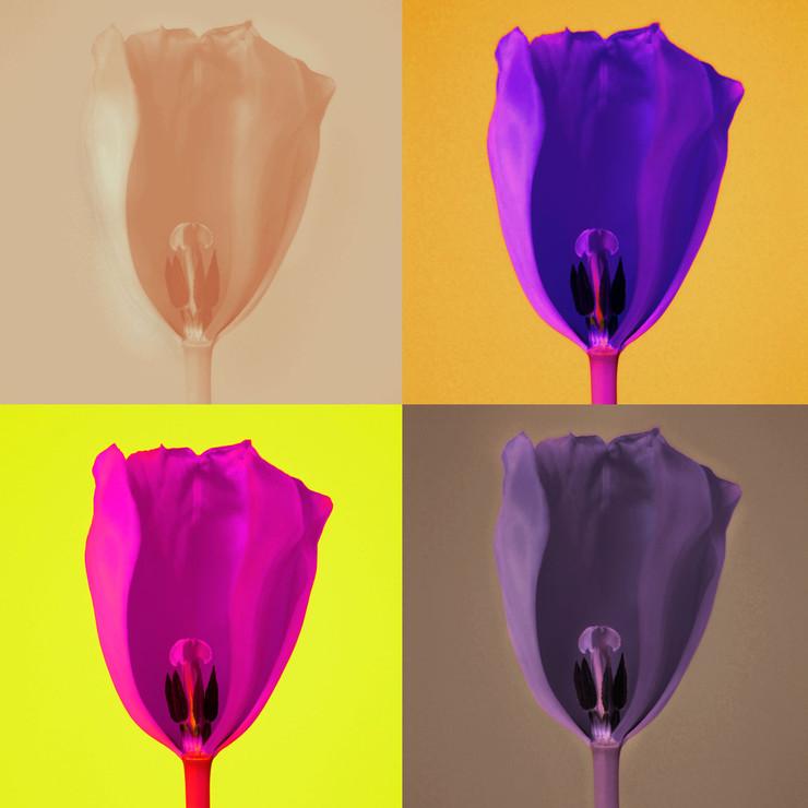 Tulpen.03