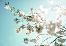 Kirschblüten.01