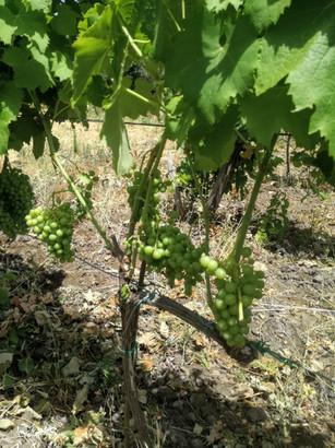 Vineyard Tour Natural Wine Davide Bentivegna