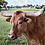 Thumbnail: Lucy Longhorn Paint By Number