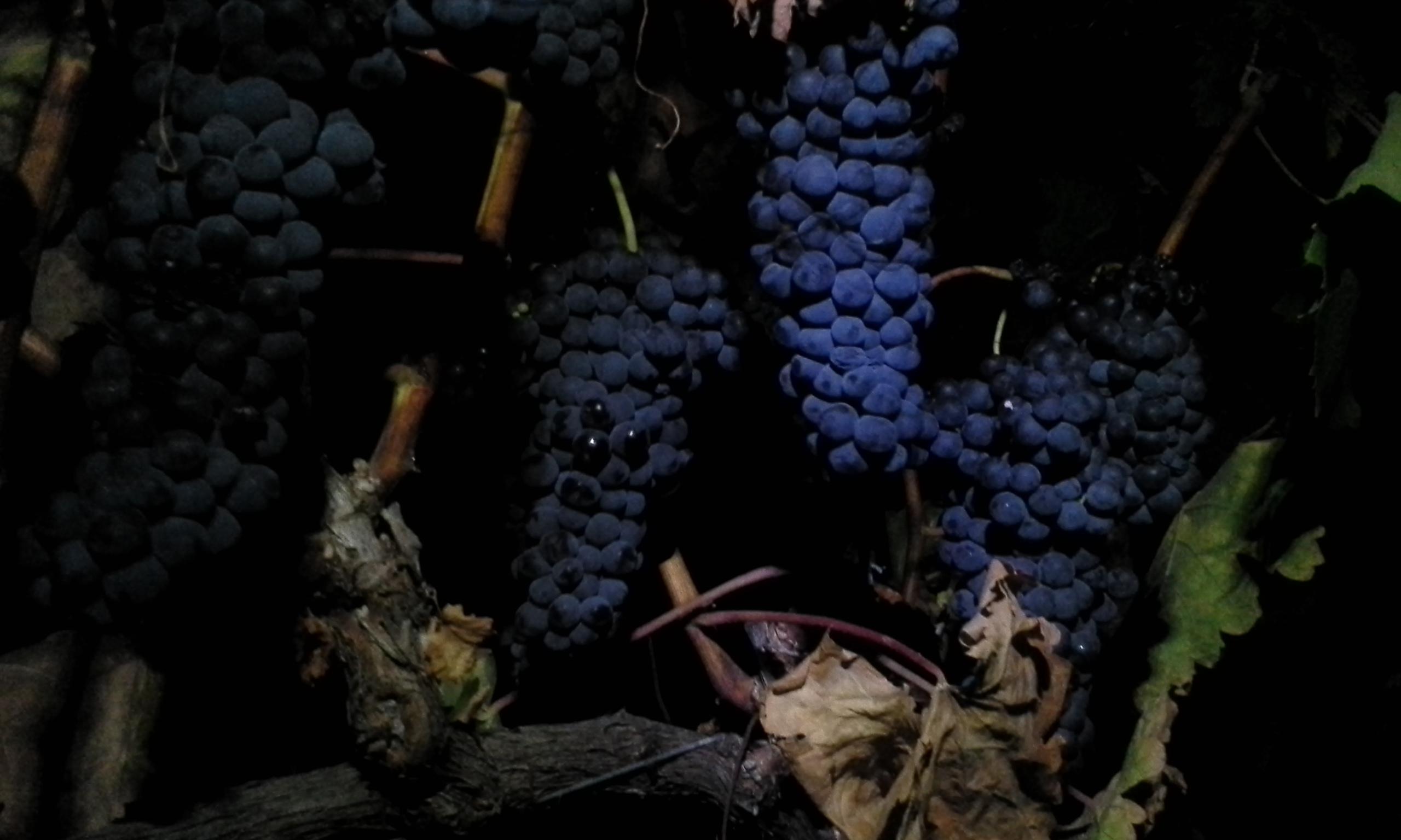 Night Grapes