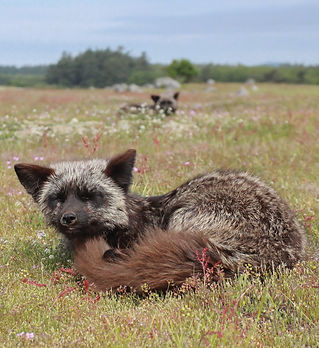 A photo of a fox kit in a grassy meadow.