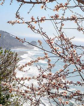 A blooming cherry blossom overlooking the mouth of the Klamath River on a sunny day.
