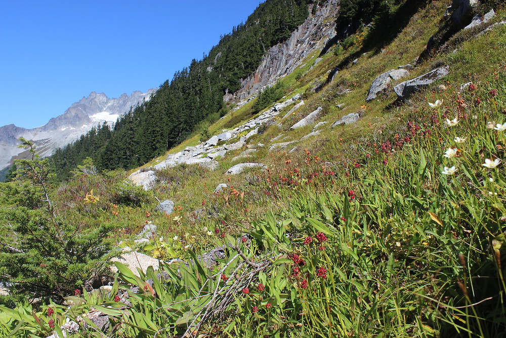 A photo of a sloping meadow covered in pyrola and saxifrage, with the Triads granite ridgeline in the distance, on the Cascade Pass trail.