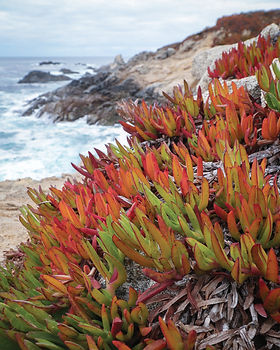 Succulents on a rock beside the Pacific Ocean at Garrapata State Park.