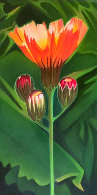 3-new-OrangeHawkweed.jpg