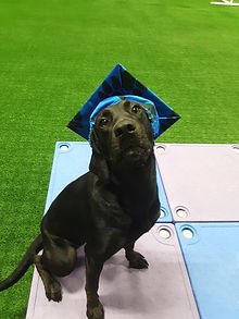 Georgie Dog Training in Virginia