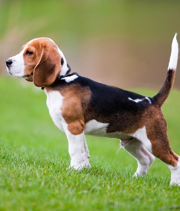 _0027_Beagle.jpg