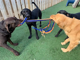 Tug a War at PawsCienda's Doggie DayCamp in Montpelier Virginia