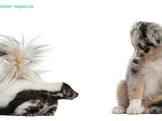 What to do if/when your dog tussles with a skunk
