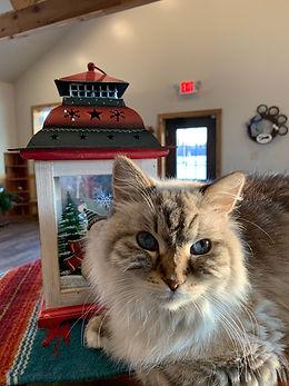 Sasha at PawsCienda's Cat Boarding in Montpelier Virginia