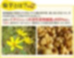 菊芋.jpg