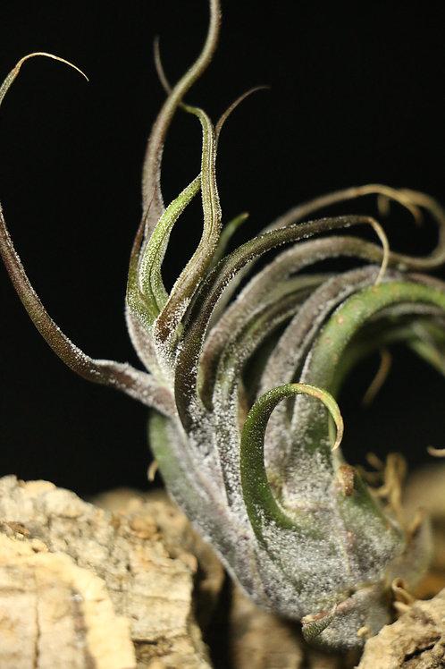 プルイノーサ pruinosa