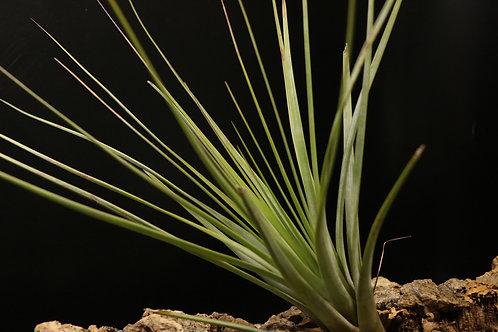 ファッシクラータ デンシスピカ アルバ|fasciculata v. densispica forma alba