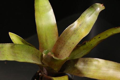 ネオレゲリア クリスパータ|Neoregelia crispata
