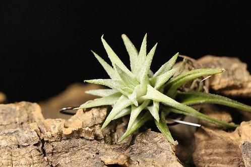 イオナンタ バンハイニンギー|ionantha var. van-hyningii