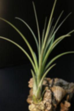 Tillandsia crista-galli クリスタガリィ