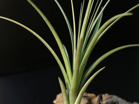 COLLECTIONにTillandsia crista-galli を追加しました。