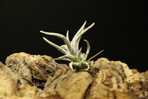 ミトラエンシス トゥレンシス mitlaensis var. tulensis