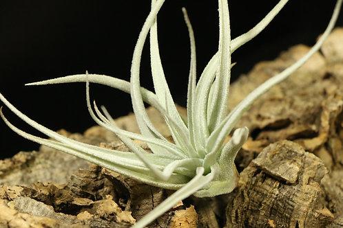 レクルビフォリア サブセクンディフォリア recurvifolia var. subsecundifolia