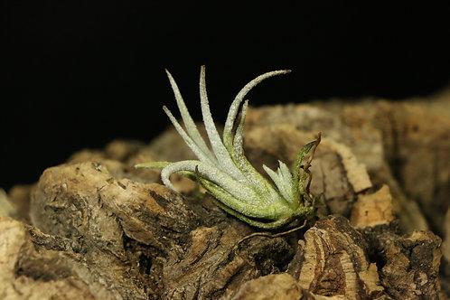 ミトラエンシス|mitlaensis