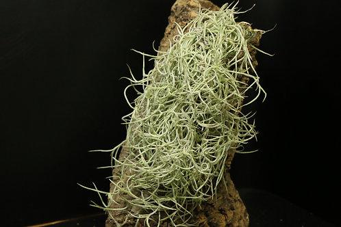 ウスネオイデス 'ジャイアントフォーム'|usneoides 'Giant Form'