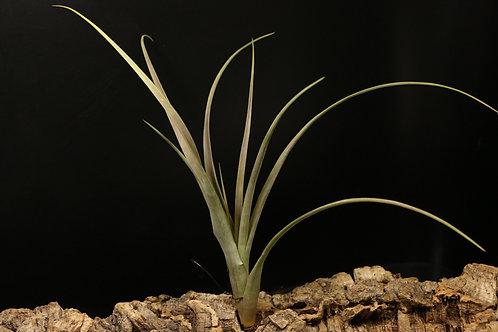 マザトラネンシス|mazatlanensis