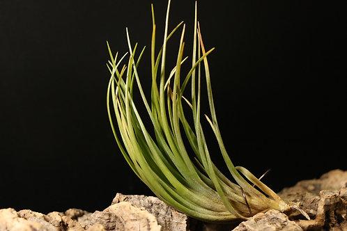 ドゥラ 'ラージクローン ヴィヴィパラ'|dura 'Large clone, viviparous'