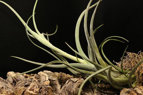 'カプトメデューサエ × プセウドベイレイ'|'caput-medusae x pseudobaileyi'