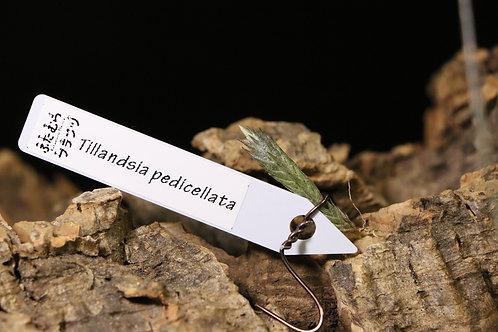 ペディセラータ|pedicellata
