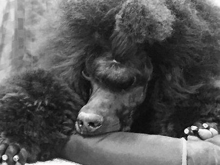 Standard poodle show dog
