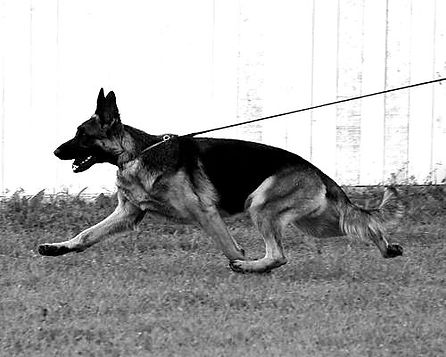 German Shepherd Show dog