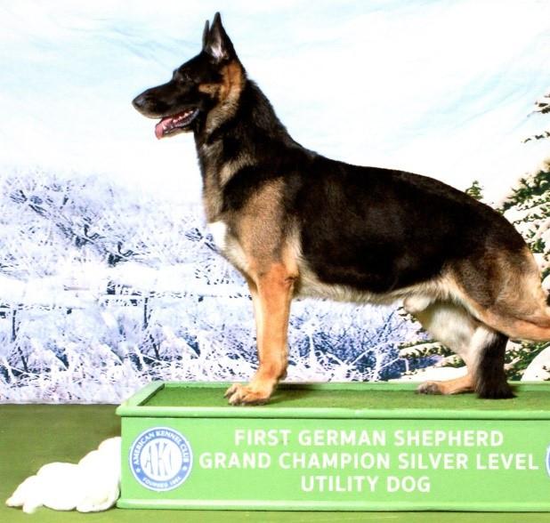GCHS CH Herr Sergeant of Glenwood IV UD, BN, RAE, CGCA, TDI, HIC, ATD, ETD, Achiever Dog, OFA H/E, TKP