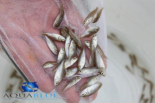 Silver Perch Fingerling
