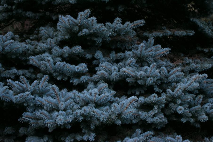 pines2.jpg