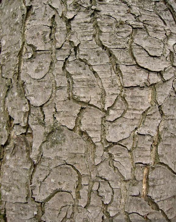 ecorce arbre.jpg