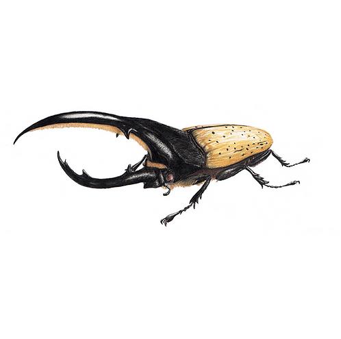 Besouro hércules (frontal)