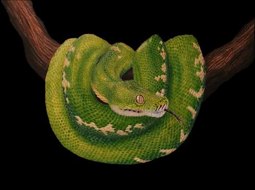 píton verde arborícola