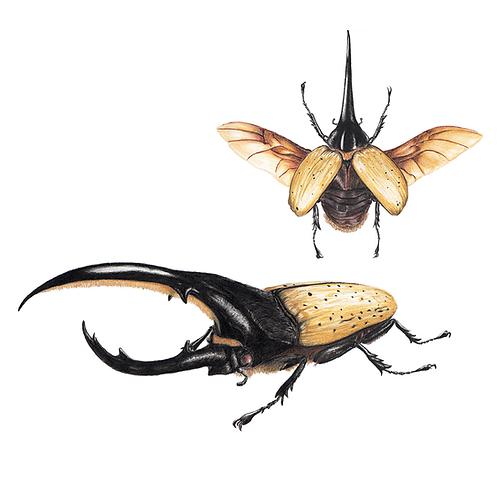 Besouro hércules