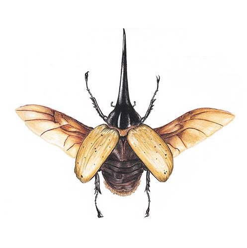 Besouro hércules (dorsal)