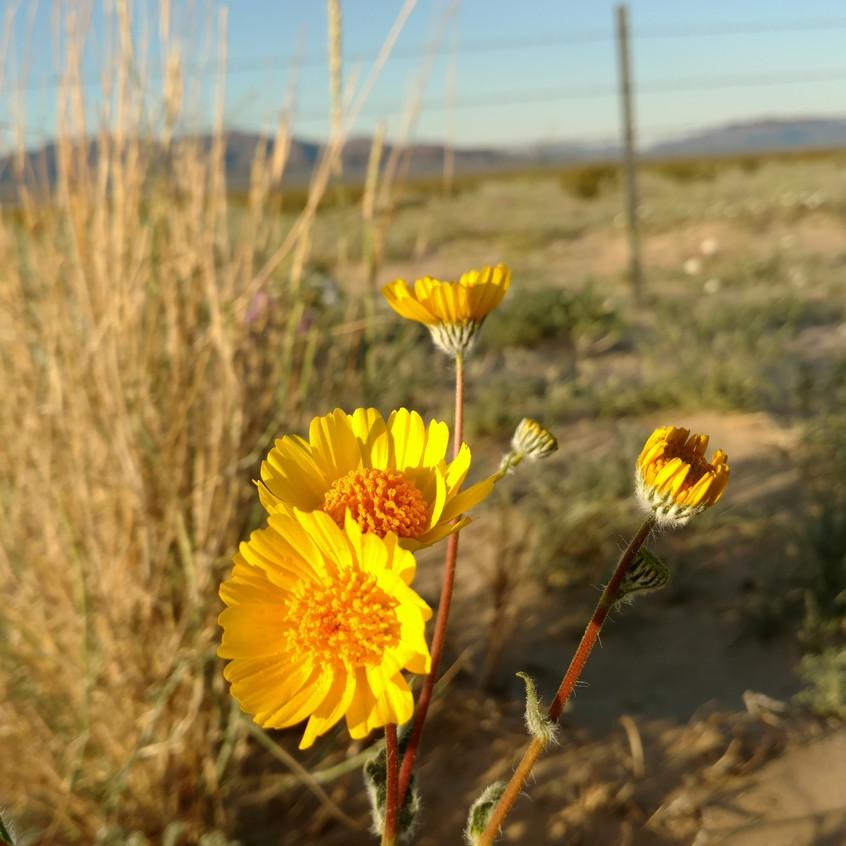 Wild flowers, Sonoran desert.