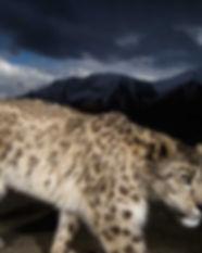 9.Snowleopard-866x487.jpg