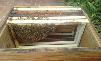 bees, bee, hive, tep monitor, honey, honey production, frame, brood, healthy bees