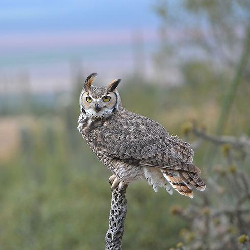 owl_on_cholla.jpg