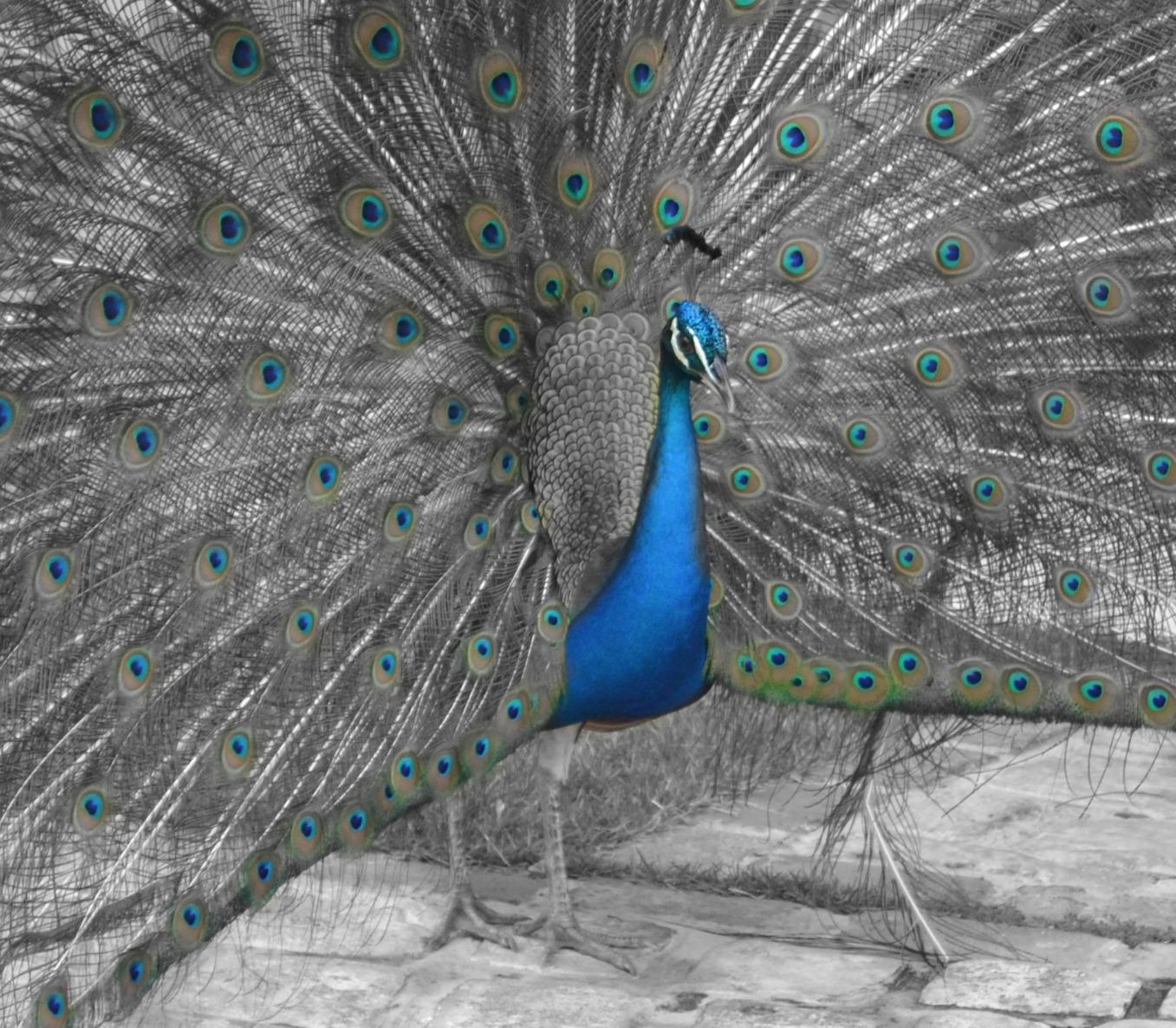 Male Peacock, Punta Cana