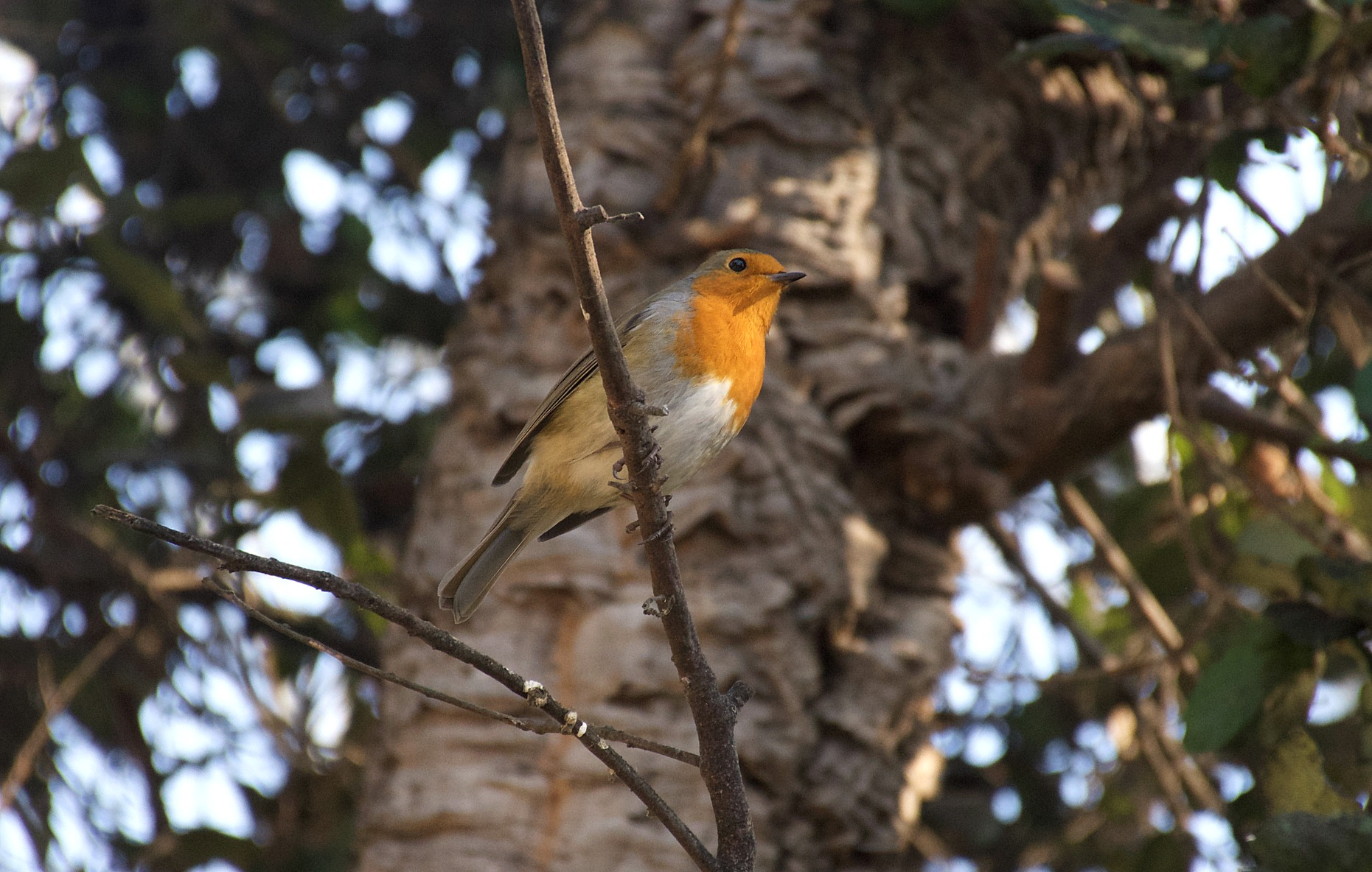 Robin, The Eden Project