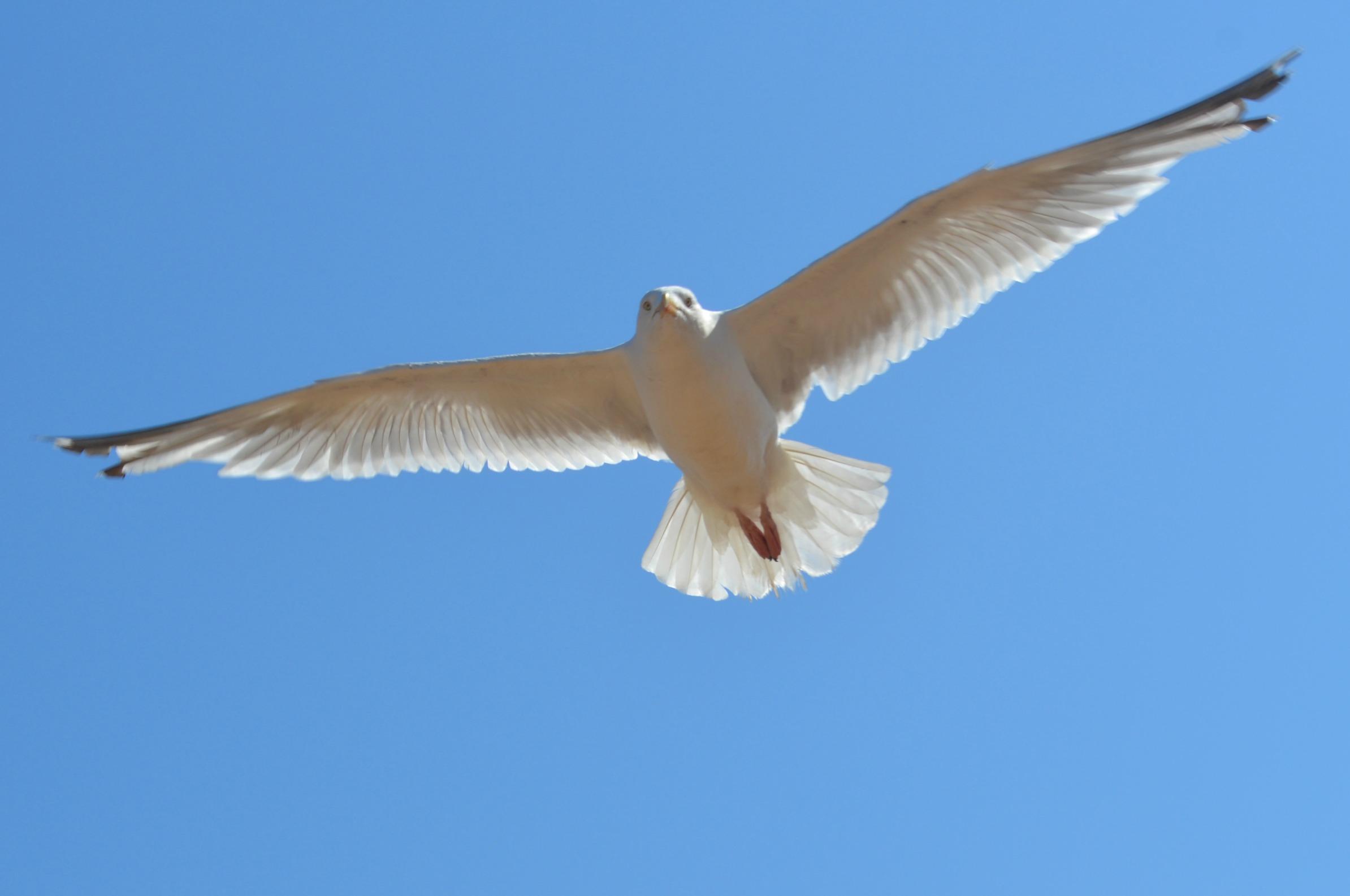 British Seagull, Joss Bay Beach