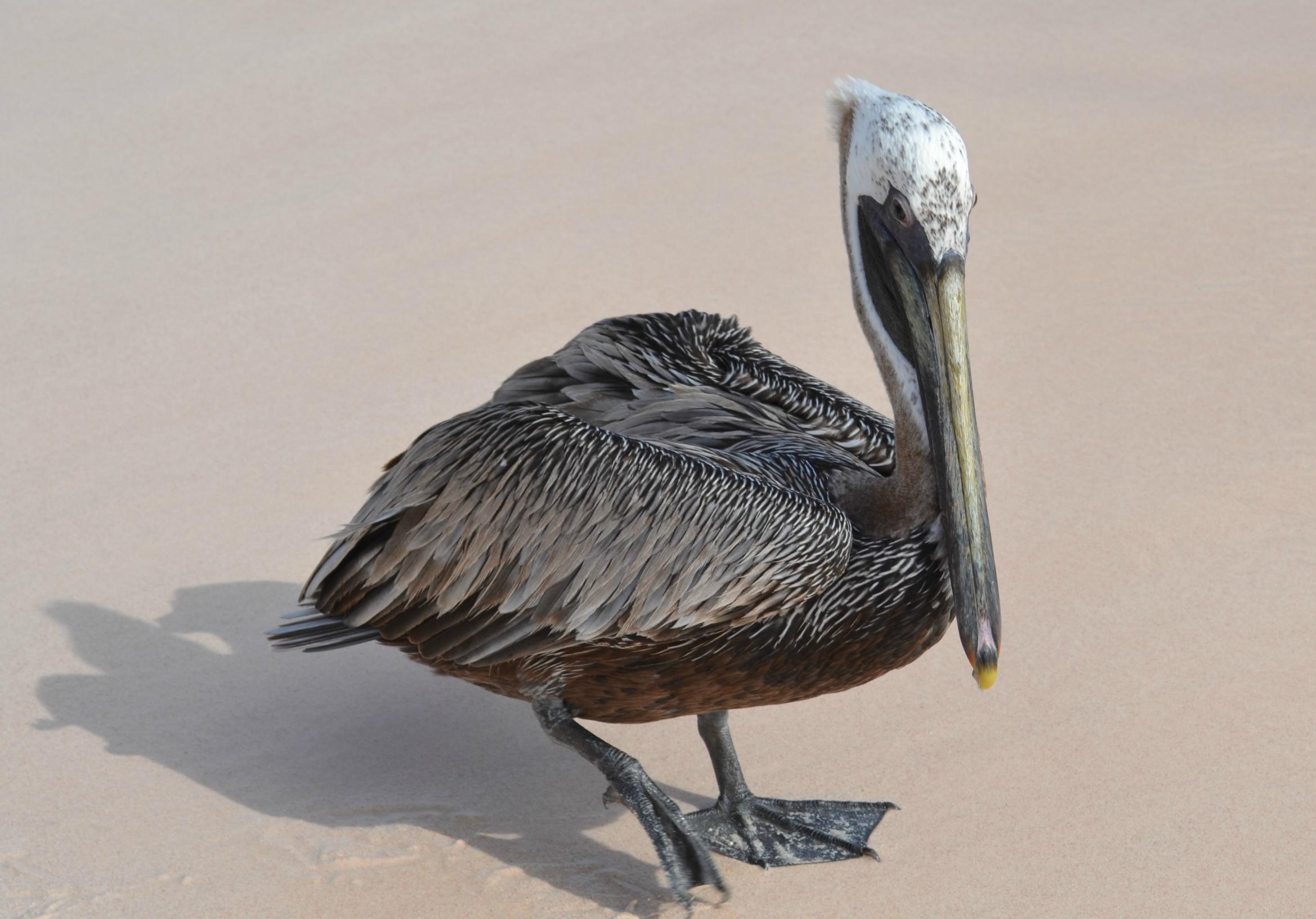 Brown Pelican, Dominican